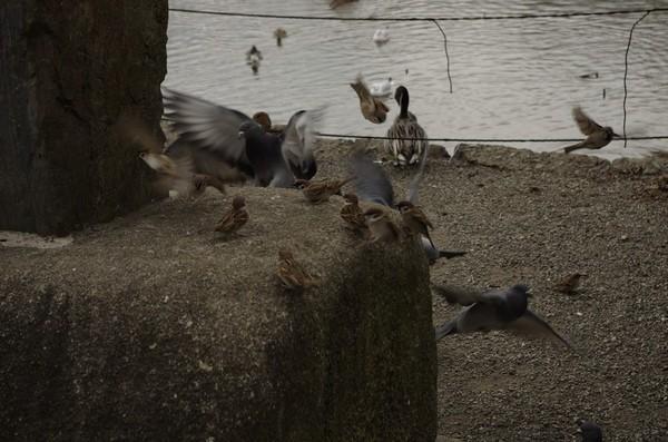 不忍池の鳥