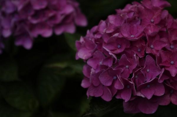 建長寺の紫陽花