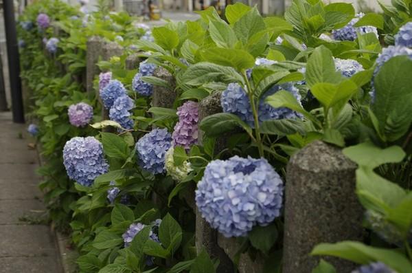 世田谷線沿いの紫陽花
