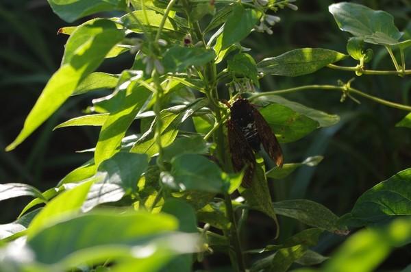カメラ撮影の練習-草むらの蝉