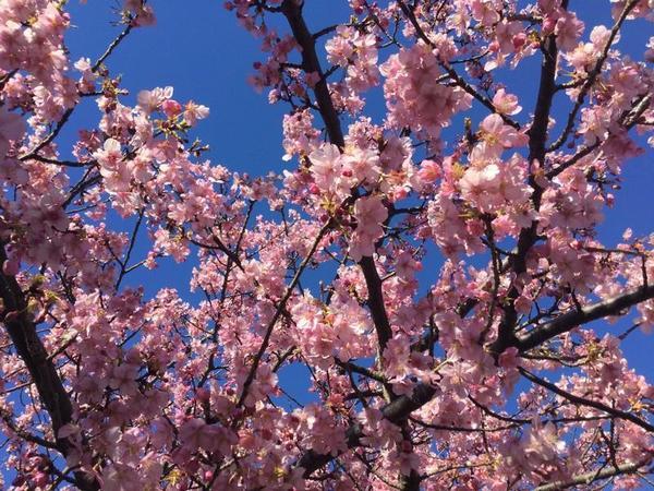天気も良く河津桜を撮るには好条件でした。