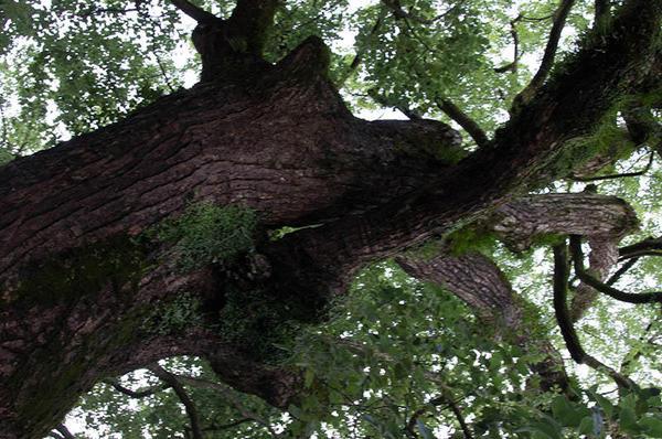 巨木の下にて