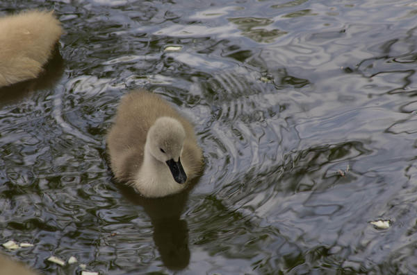 6月見たころの白鳥の雛