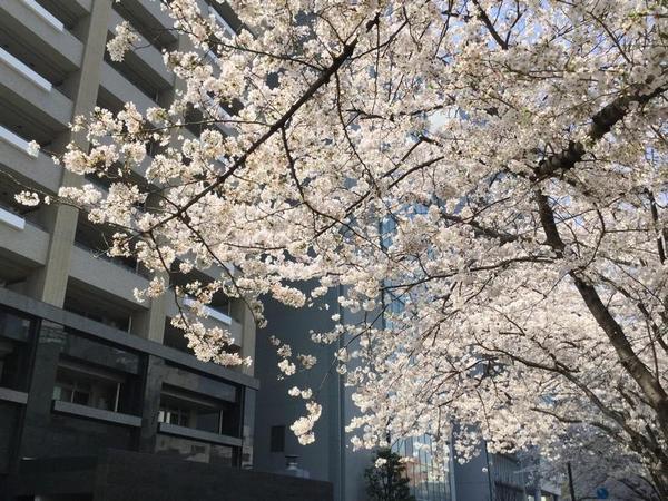 桜のように消え散ろう