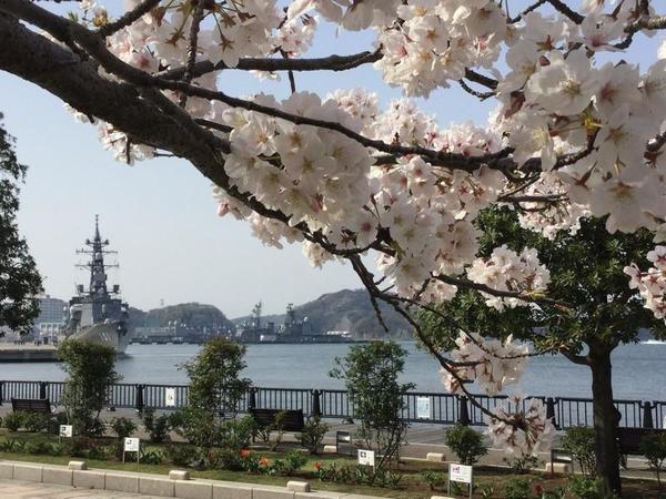 護衛艦「むらさめ」と桜