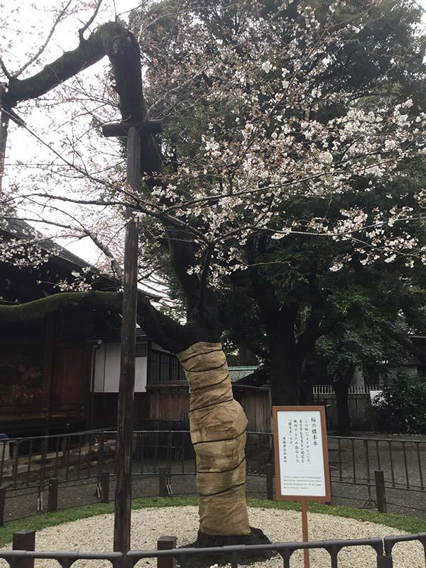 靖国神社の標準木